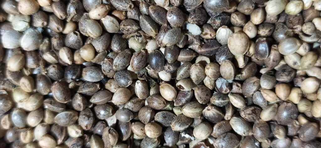 healthy cannabis seeds