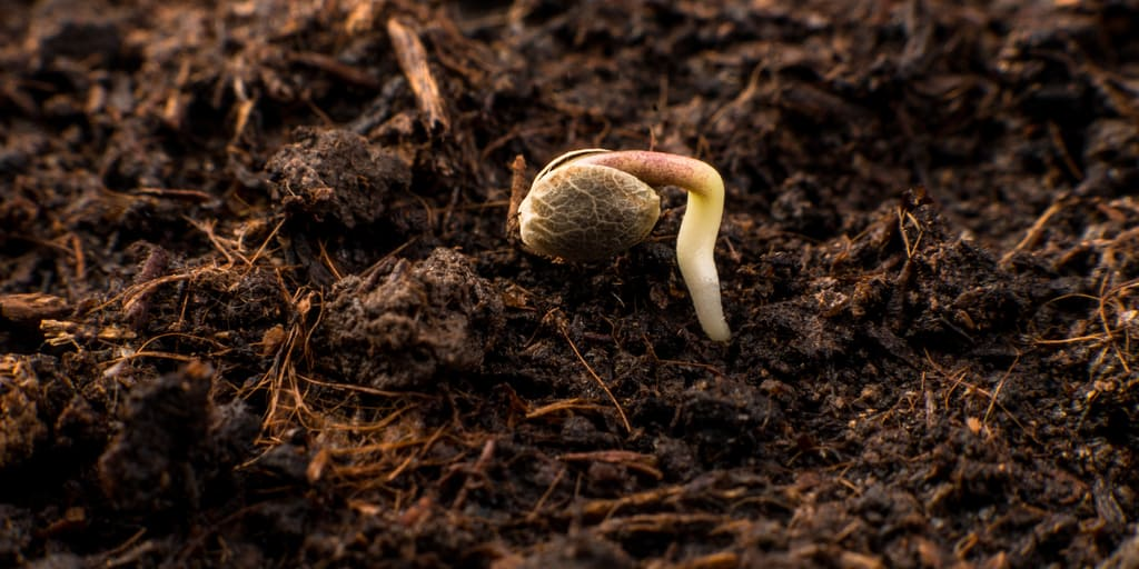 Seed Germination Root
