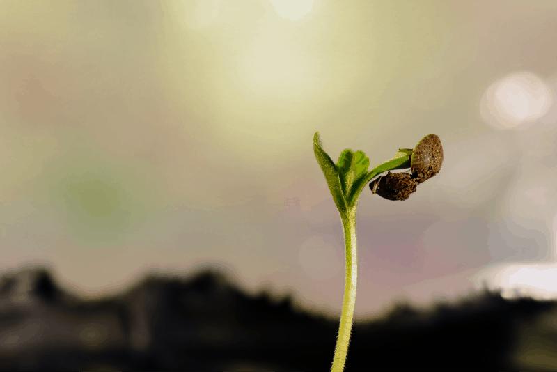 cannabis seedling germinating