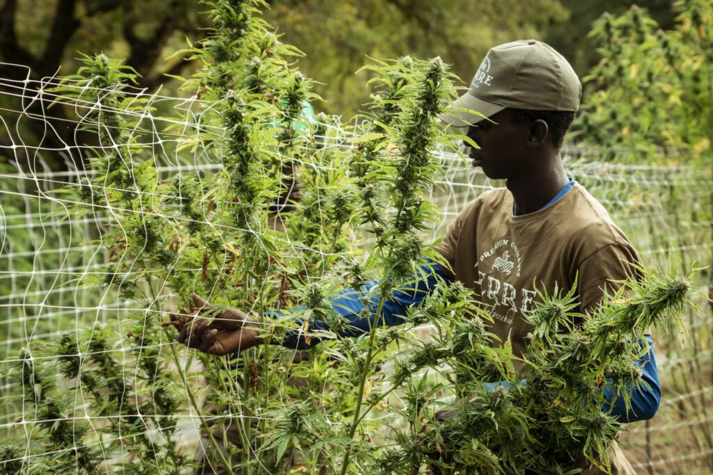 cannabis outdoors