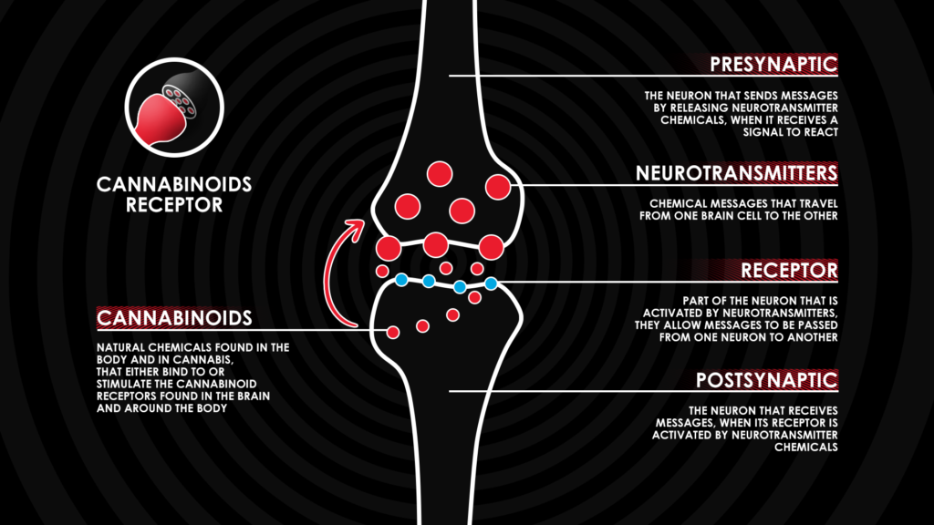 how cannabinoid receptors work